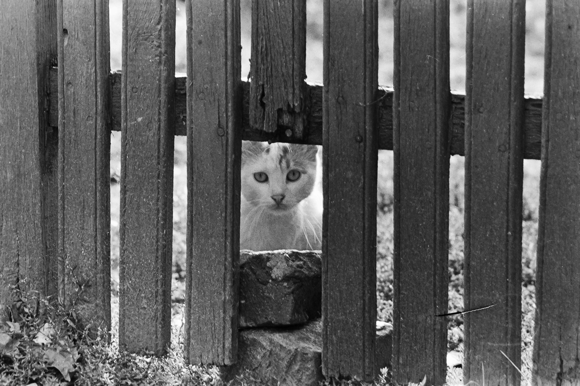 Pisică după gard